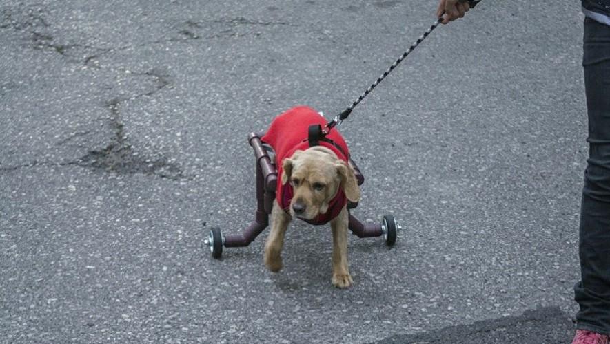 Gracias a las sillas de ruedas de Luis Aldana, decenas de perros tienen una mejor calidad de vida. (Foto: Facebook Sillas de ruedas para tu mascota GT)