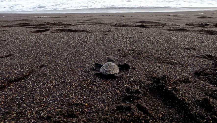 La liberación de tortugas se realiza en la costa de Guatemala para ayudar a la conservación de la especie. (Foto: X-Tours)