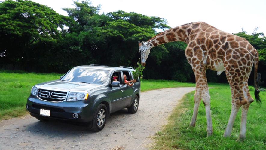 Auto Safari Chapín en Escuintla busca la conservación y reproducción de especies en peligro de extinción. (Foto: Auto Safari Chapín)