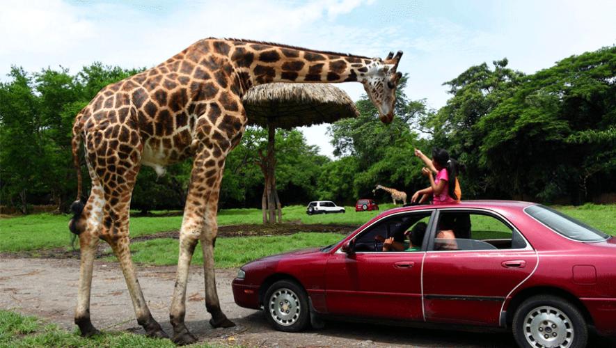 Una experiencia única en Auto Safari Chapín al estar en contacto con los animales. (Foto: Auto Safari Chapín)