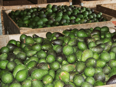 Aguacate hass (Foto: Claire Footsteps)