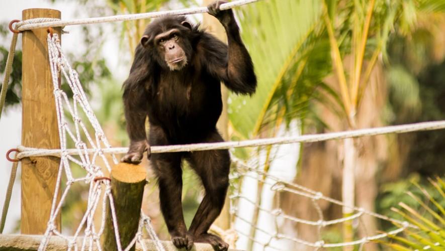 El Zoológico La Aurora inauguró el nuevo recinto de chimpancés. (Foto: Zoológico La Aurora)
