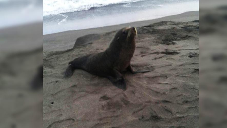 Un león marino fue hallado en una playa de Jutiapa. (Foto: CONAP)