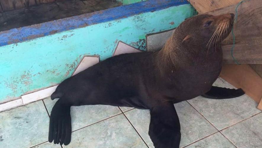 El lobo marino que encontraron en Guatemala necesita de tu ayuda para su recuperación. (Foto: ARCAS)