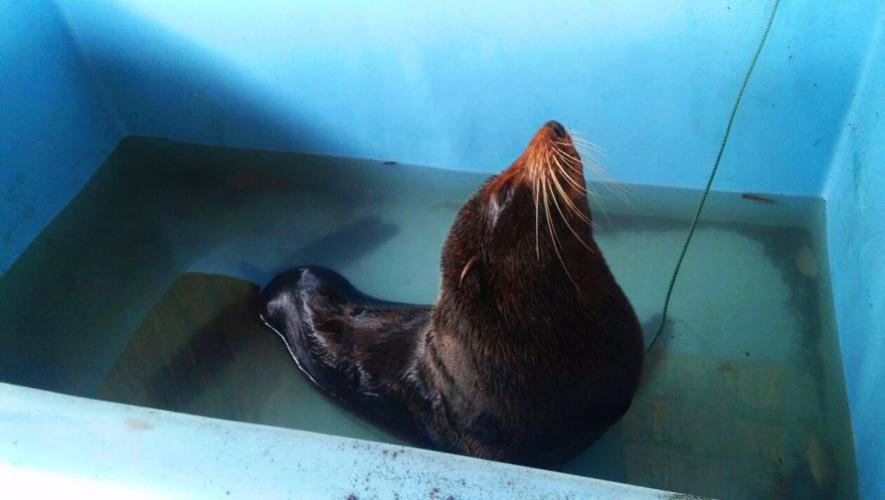 Un lobo marino fue hallado en la playa Barra El Jiote en Jutiapa. (Foto: Facebook La Hora)