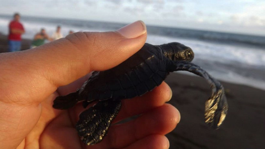 1era. fecha Liberación de tortugas en Monterrico | Septiembre 2016