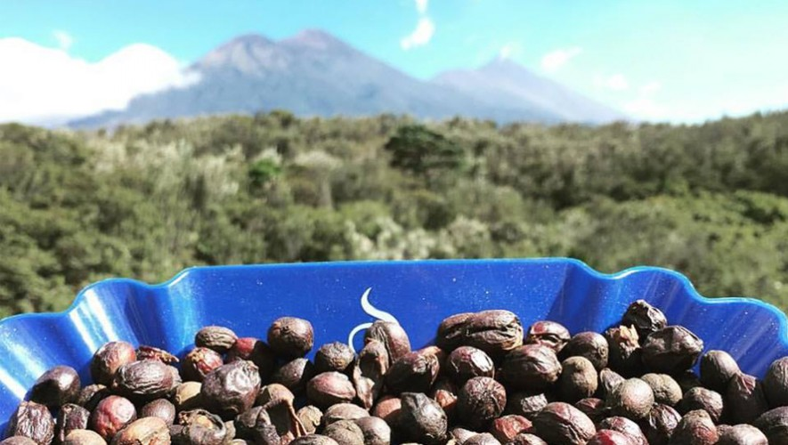 La Copa de la Excelencia 2016 eligió el café de finca Los Jutes, en Acatenango, como el mejor de Guatemala. (Foto: Finca Santa Felisa)