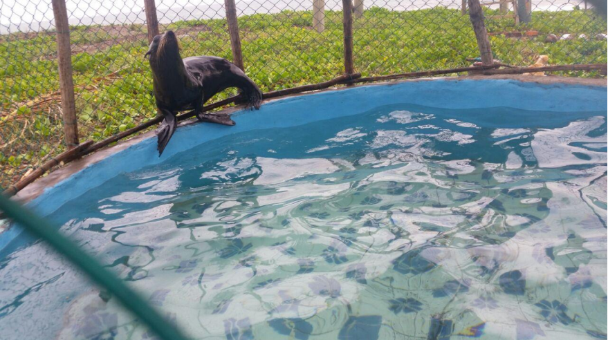 El lobo fino explorando la expansión del recinto y la piscina más grande. (Foto: ARCAS Guatemala)