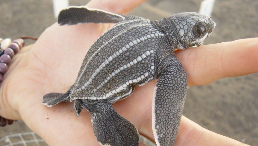 2da. fecha de liberación de tortugas en Monterrico | Octubre 2016