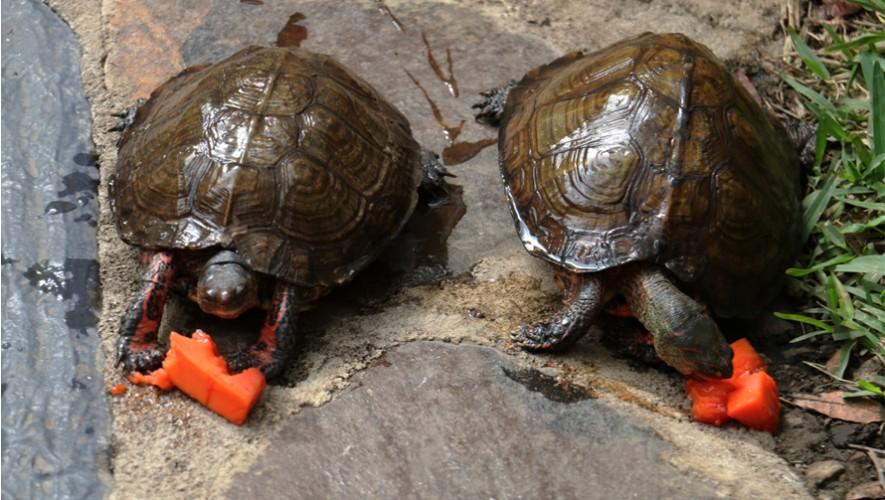 Alimenta a las tortugas de Museo Miraflores   Agosto 2016