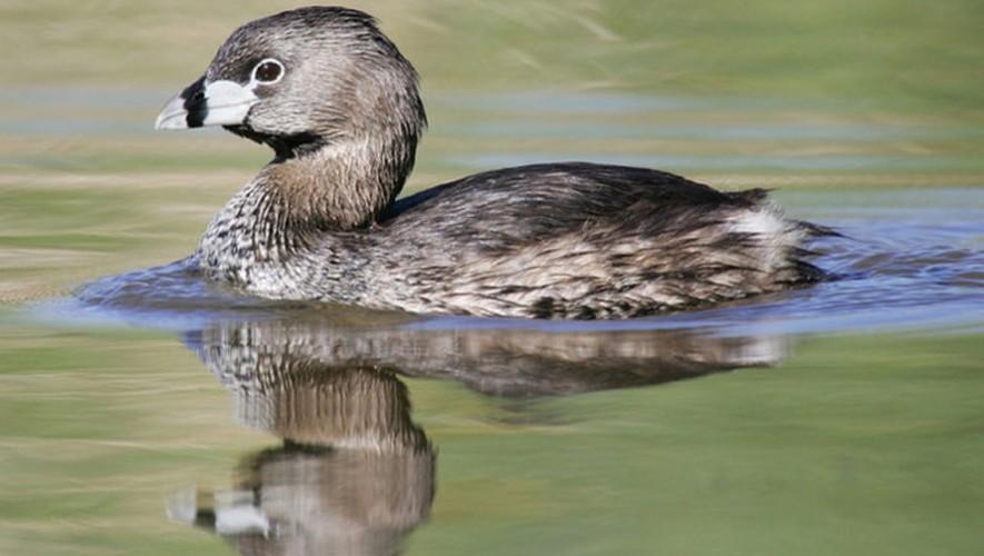 El pato poc era una especie única de Guatemala. (Foto: Vegetarianos de Guatemala)