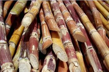 sugar-cane-slide2
