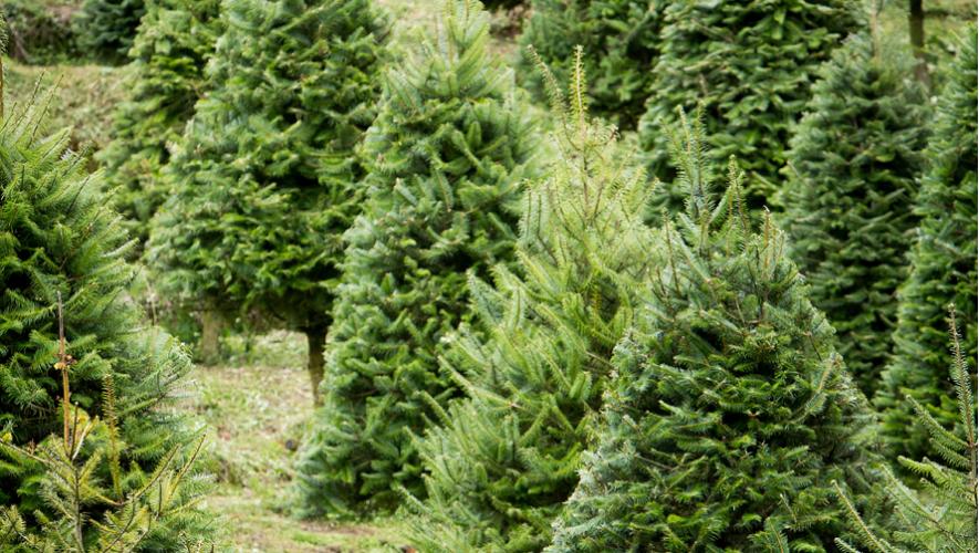 El pinabete guatemalteco es una especie única de árbol que desprende olor cuando se deshidrata. (Foto: Finca El Espinero)