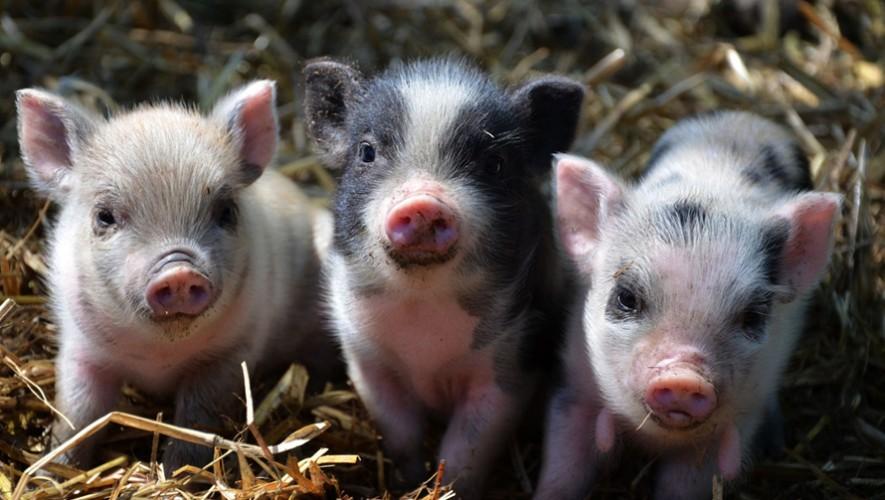 Exhibición de Mini Pigs en Los Charrales   Noviembre 2016