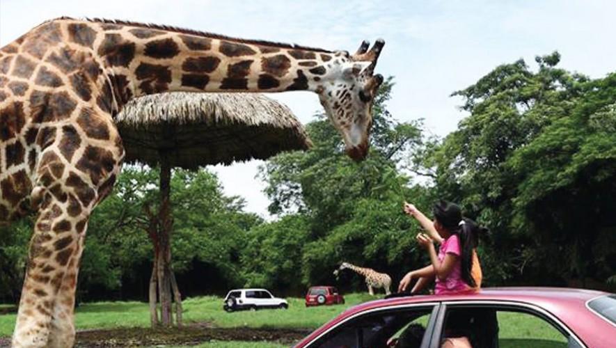 Vive un fin de semana diferente de paseo en Auto Safari Chapin. (Foto: Auto Safari Chapin)