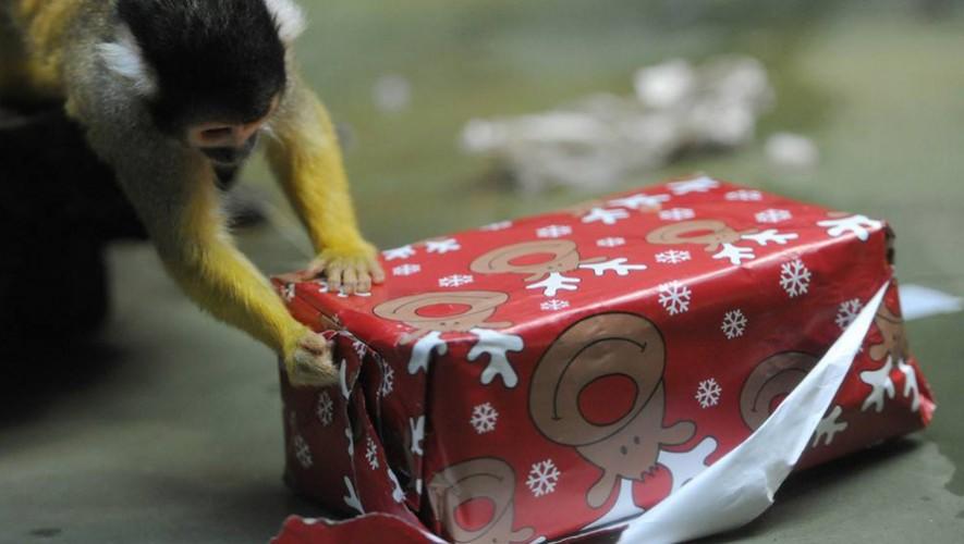 Los animales del Zoológico La Aurora abren regalos navideños   Diciembre 2016