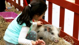 Toda la familia podrá disfrutar de un día junto a los mini pigs. (Foto: Naranjo Mall)