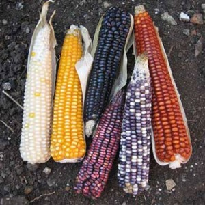Tipos de maíz en Guatemala