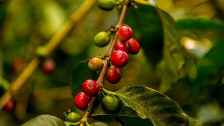 Tour del café en Finca Filadelfia, Sacatepéquez