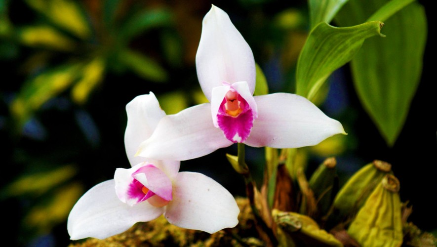 Visita la reserva natural en Cobán que te permite apreciar orquídeas. (Foto: Osierra Fotografía)