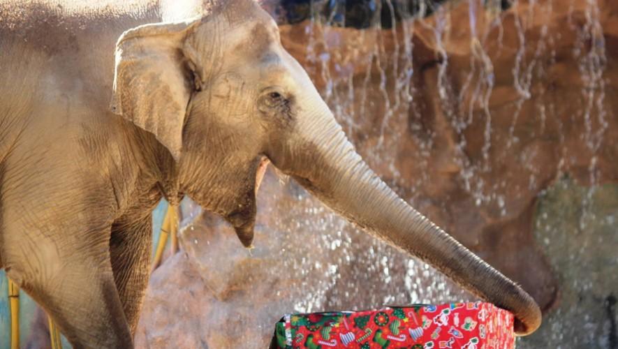 Celebración de cumpleaños de la elefante Trompita en el Zoológico La Aurora | Febrero 2017
