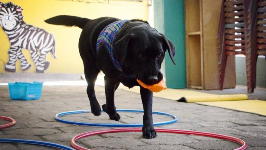 Kimono es un perro de asistencia para niños con autismo de Guatemala