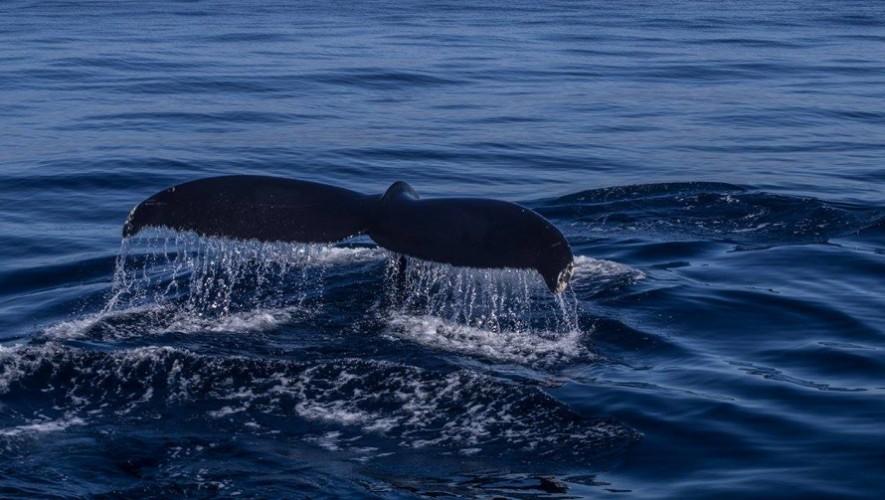 Avistamiento de ballenas en Marina Pez Vela, Puerto de San José | Abril 2017