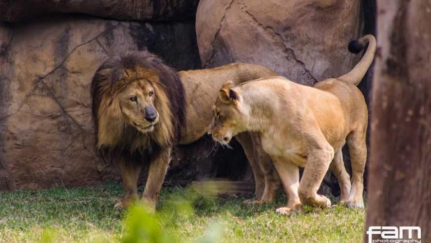 Historia de Leono el león que reside en el Zoológico La Aurora 2017