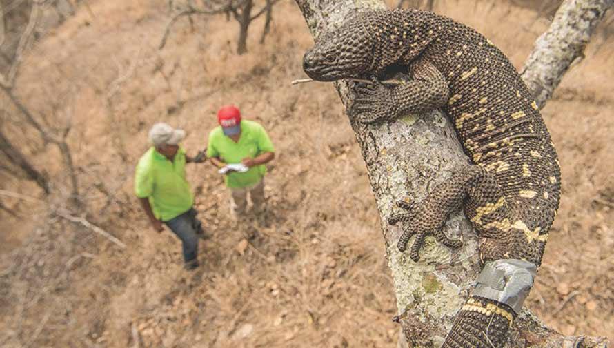 Lagarto enchaquirado de Guatemala podría contribuir a la medicina, según National Geographic