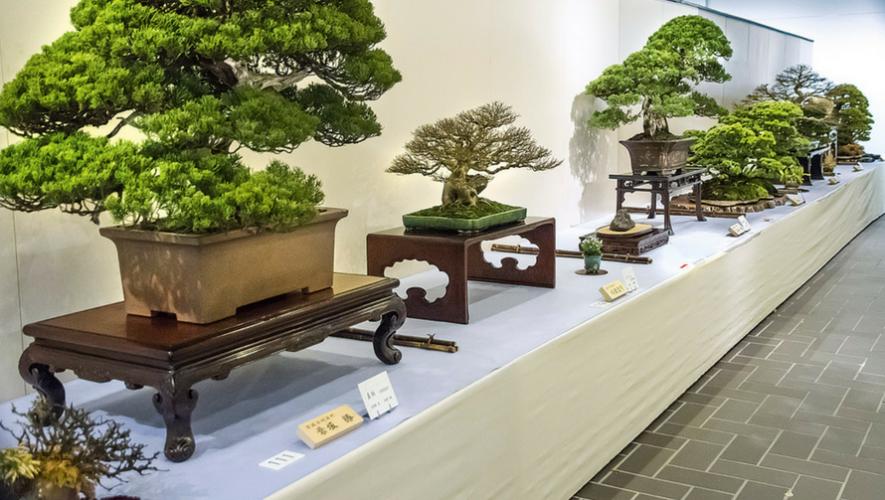 Exposición de bonsáis en Centro Comercial Miraflores | Mayo 2017