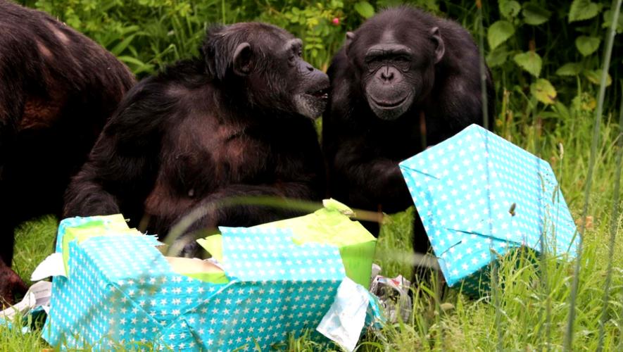 Celebración de cumpleaños de Chimpancés y Pingüinos de Zoológico La Aurora   Mayo 2017
