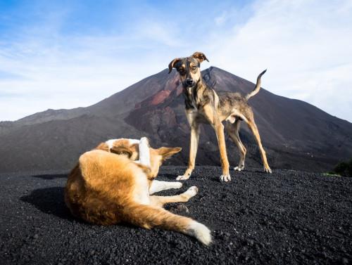 perros pacaya volcano