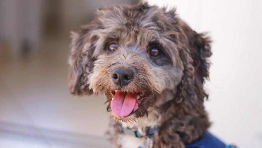 Tomasito es un perro voluntario que alegra a niños guatemaltecos
