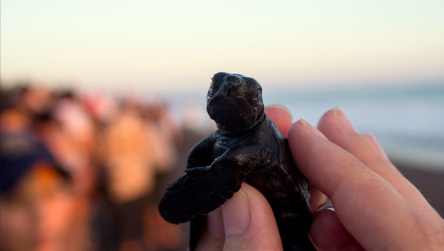 Liberación de tortugas marinas en Monterrico | Octubre 2017