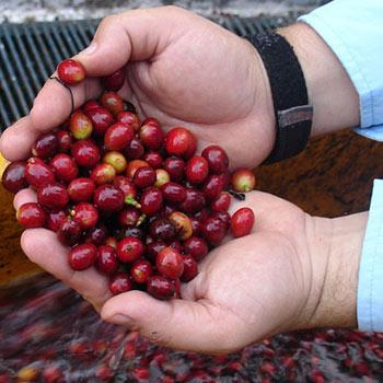tour en una granja de café