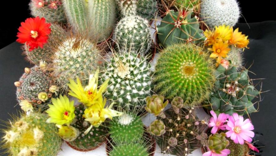 Festival de cactus y suculentas en Quetzaltenango | Noviembre 2017
