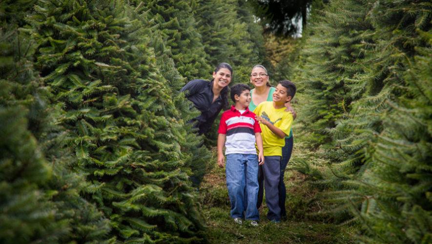 Dónde comprar árboles de Navidad naturales en Guatemala