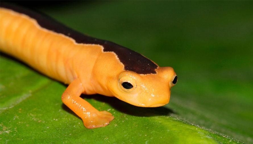 En Guatemala encuentran una salamandra que se creía extinta desde hace 42 años