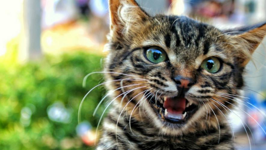 Jornada de castración de gatos a bajo costo | Noviembre 2017