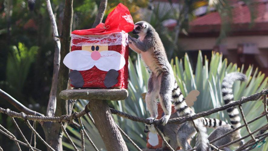 Los animales del Zoológico La Aurora abrieron sus regalos de Navidad, 2017