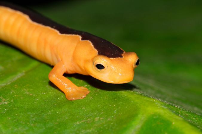 NatGeo destacó a la salamandra que fue redescubierta en Guatemala