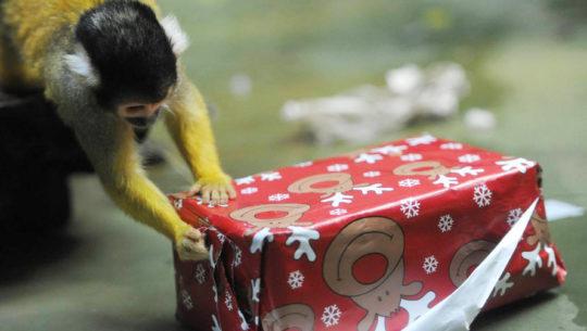 Los animales del zoológico La Aurora celebrarán Navidad abriendo regalos, 2017