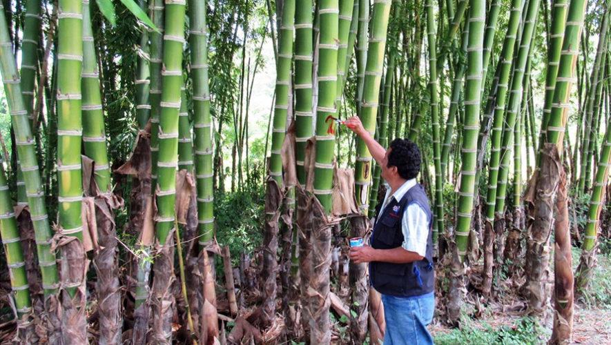 Taller sobre usos y siembra de bambú en Guatemala | Agosto 2018