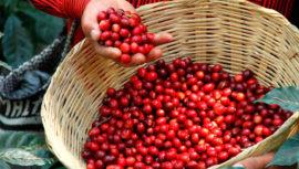 Las variedades de café que se producen en 8 regiones de Guatemala