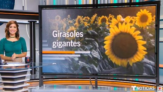 Girasoles gigantes de Esquipulas destacaron en programa de Telemundo