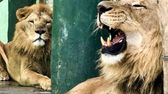 Tomás y El Guapo son los nuevos leones del Zoológico La Aurora