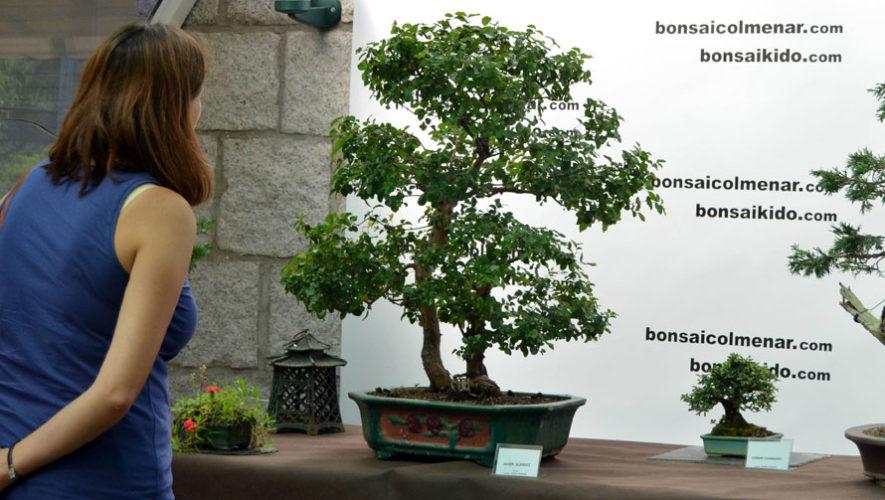 Exposición de bonsáis en Museo Miraflores   Marzo 2018