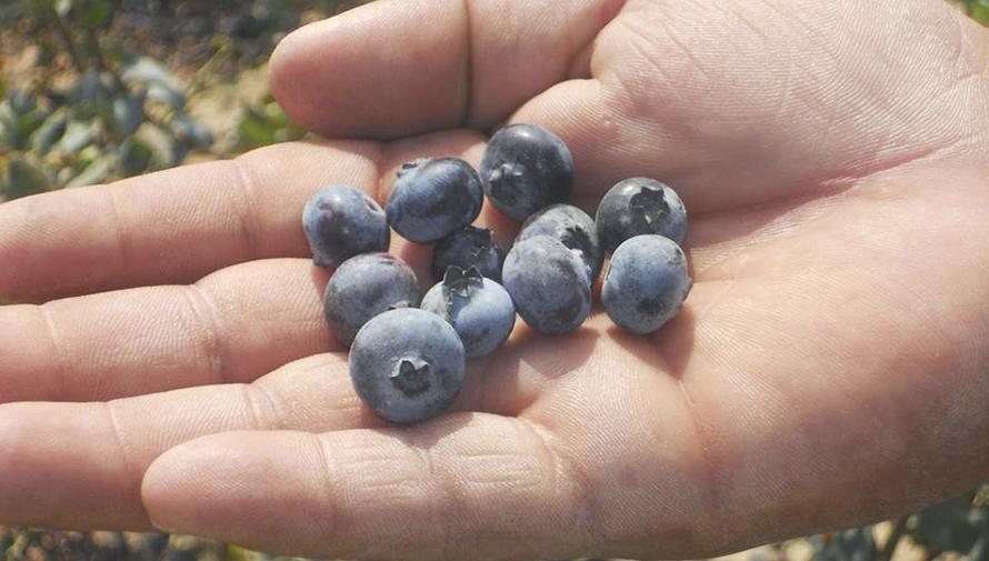 Se entregará la primera exportación de arándano de Guatemala a Estados Unidos
