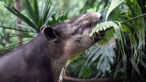 Celebración del Día Mundial del Tapir en Zoológico La Aurora   Abril 2018