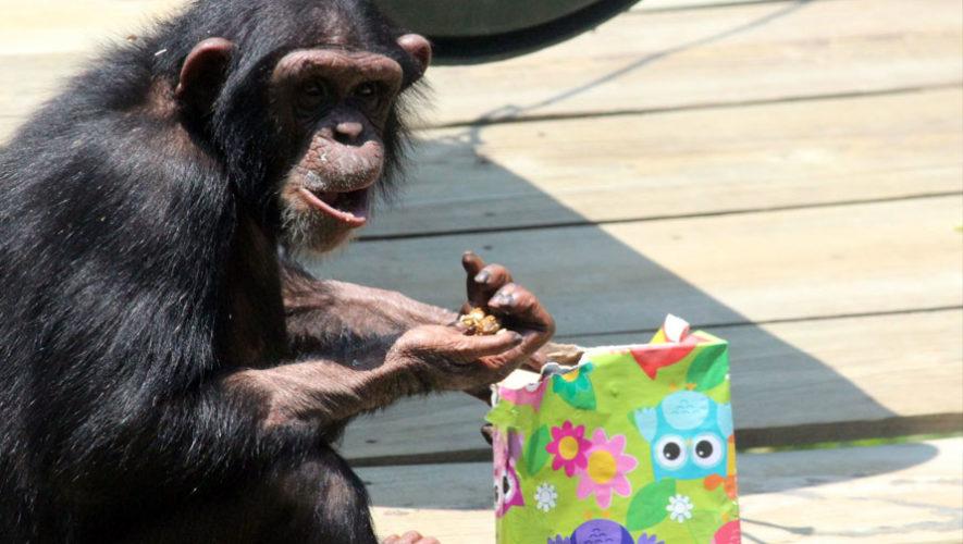 Celebración del cumpleaños de pingüinos y chimpancés del Zoológico La Aurora | Mayo 2018